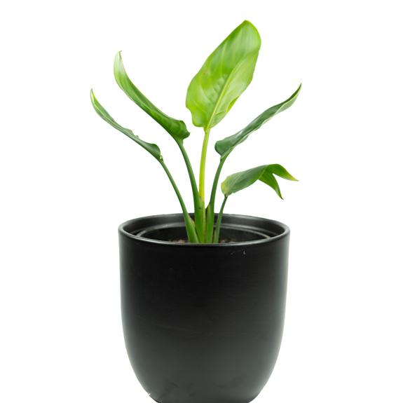 [Indoor plants] Strelitzia reginae