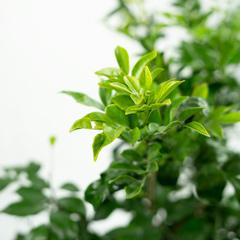 [Hedging and screening] Murraya paniculata