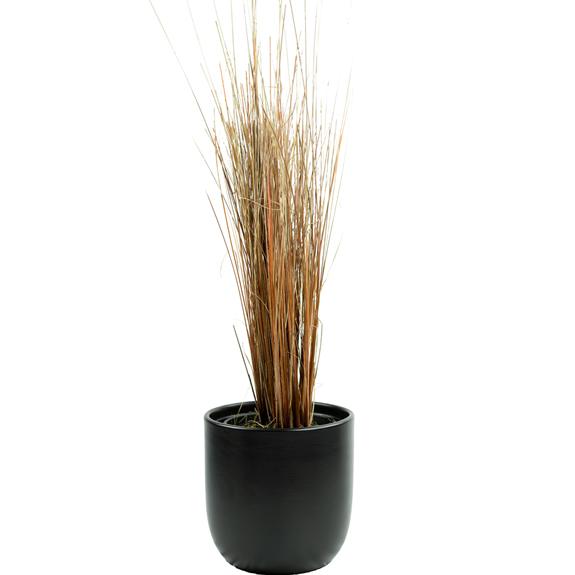 [Native Grasses] Carex buchananii