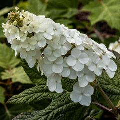 [Hydrangeas] Hydrangea quercifolia