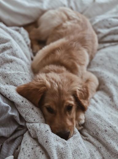 Sleepy Dog - Amy Humphries