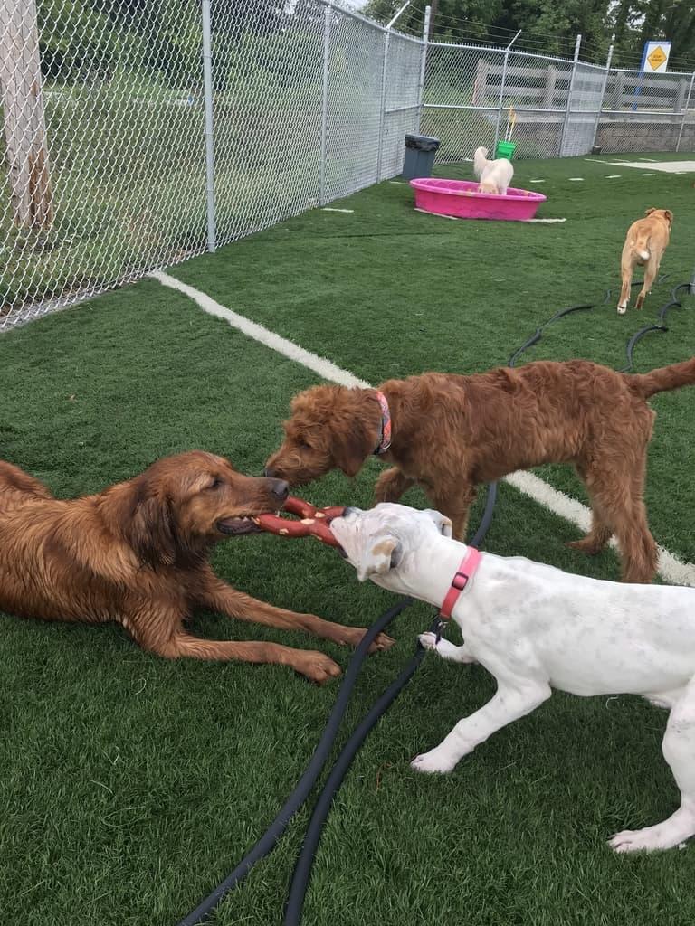 Club Canine Dog tug-of-war