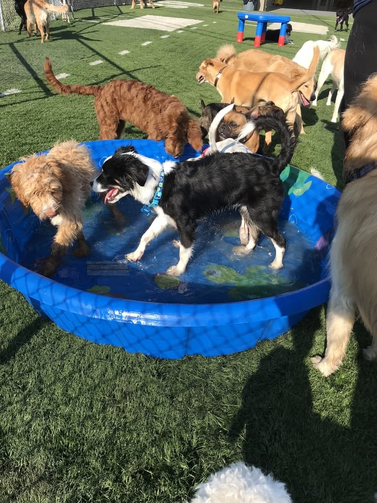 Club Canine Dogs in a pool