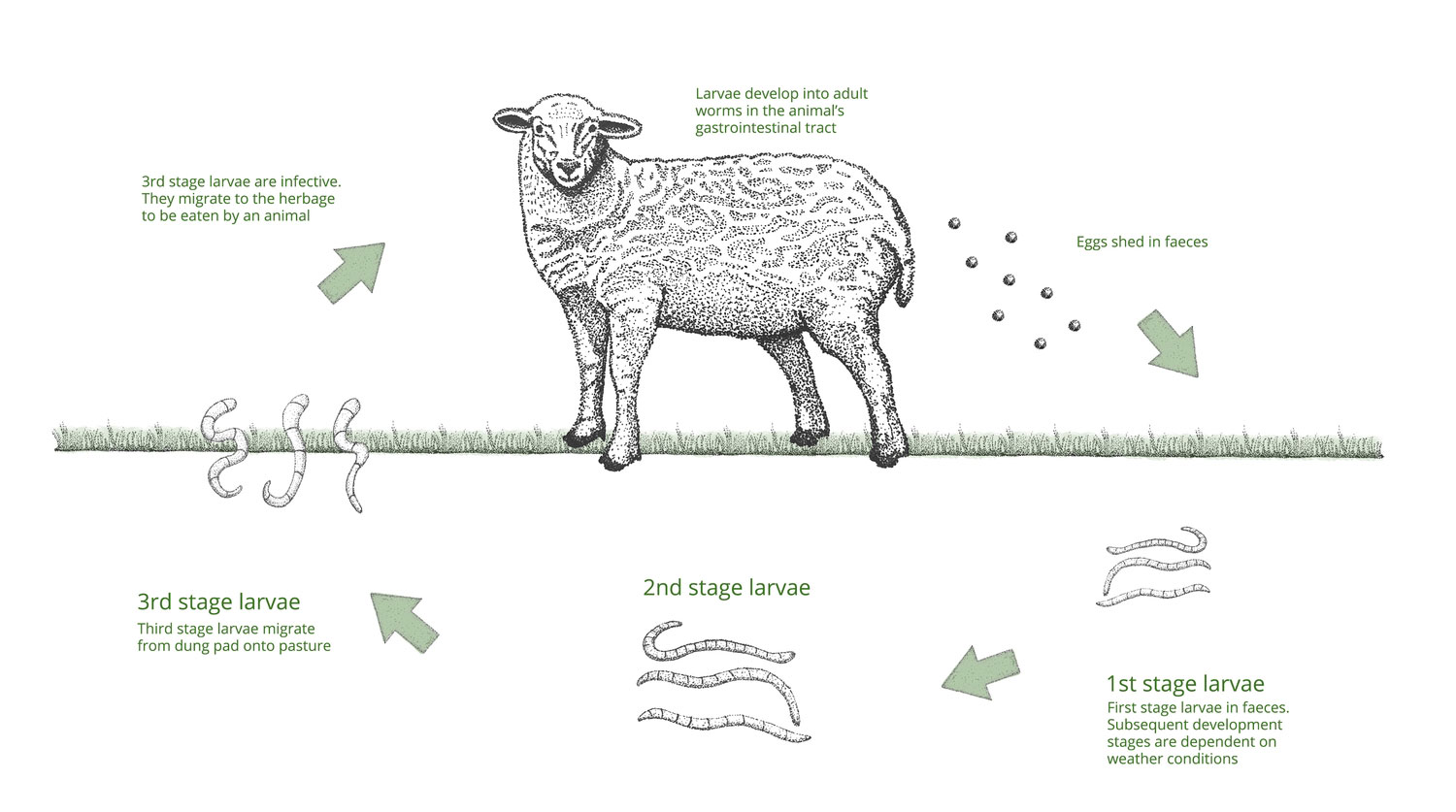 Gastrointestinal Worms in Sheep
