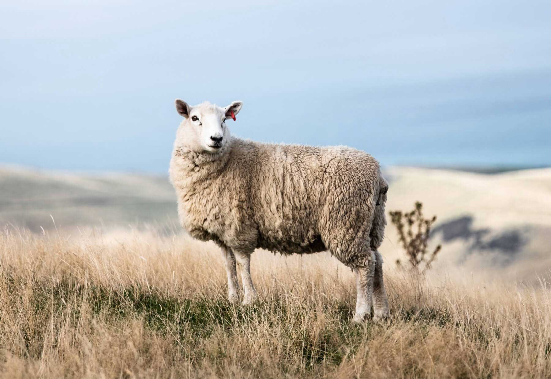 Photo of a sheep in a field