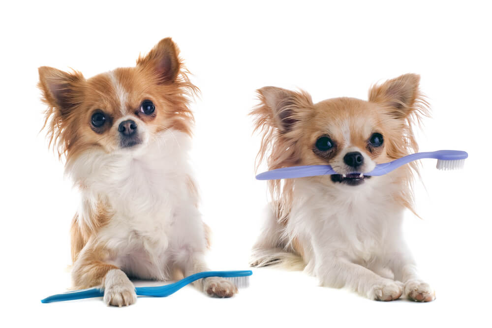Two small dogs holding toothbrushes in their mouths.