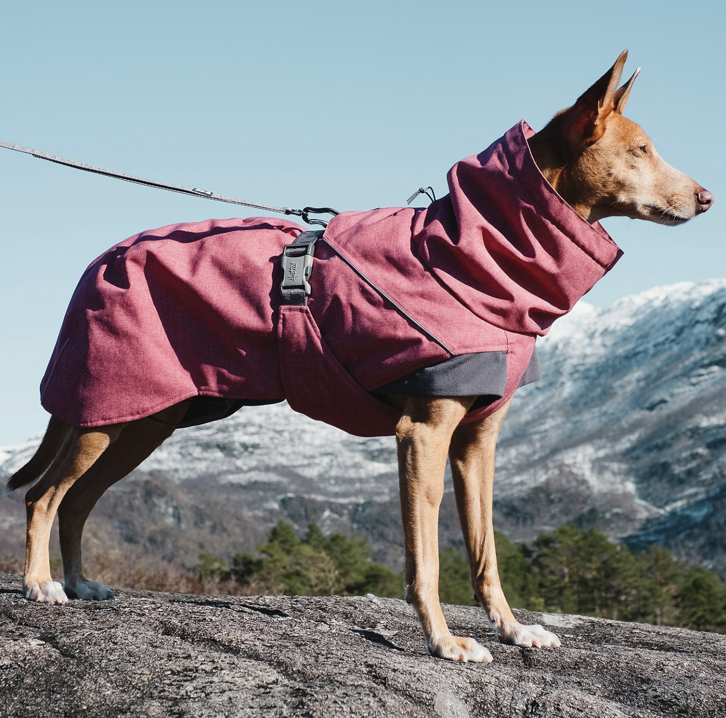 A mountain dog with a big red coat.