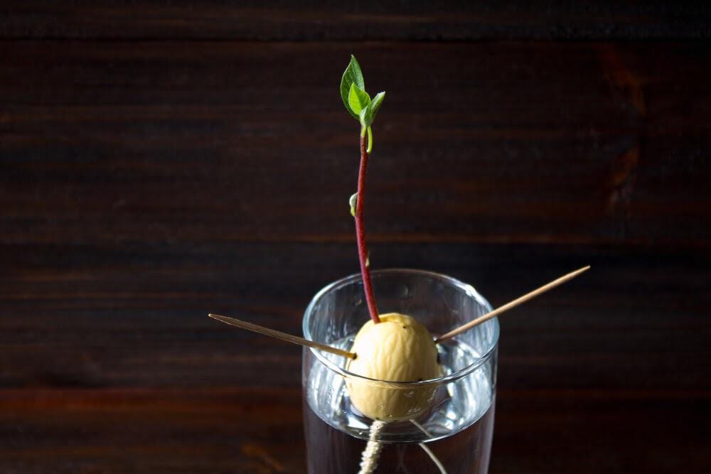 avocado pit with stem