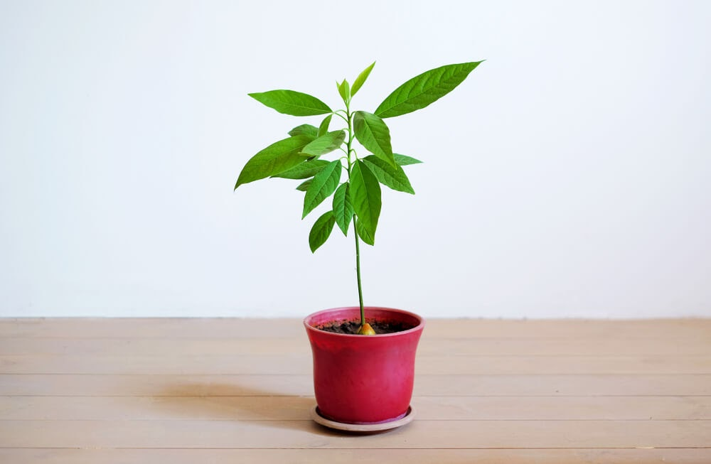 avocado tree with leaves