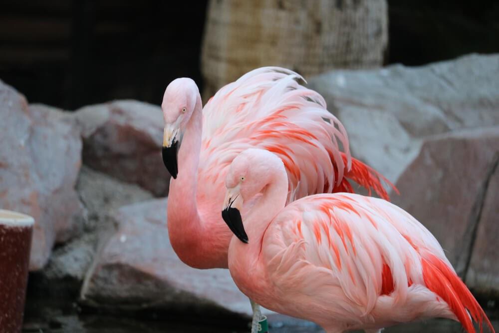 pink flamingos on rocks