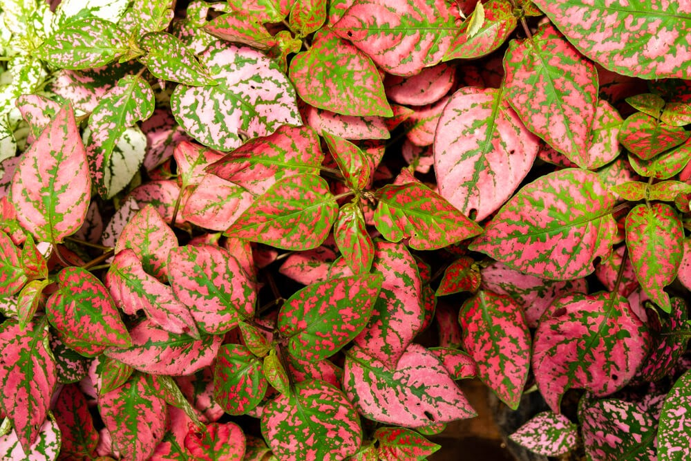 Variegated green and pink leaves