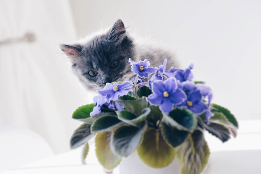 Grey cat with purple potted violet