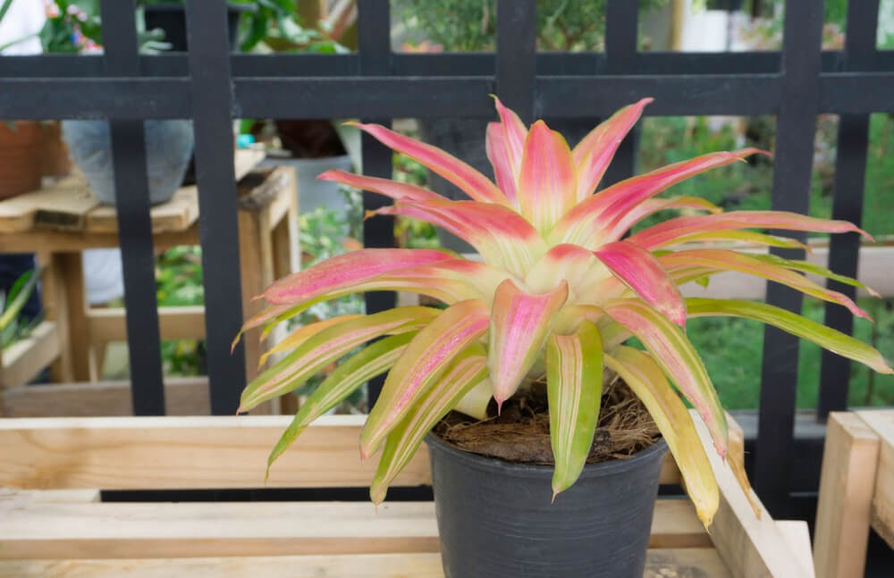 Pink and bright green plant with long, spear like leaves
