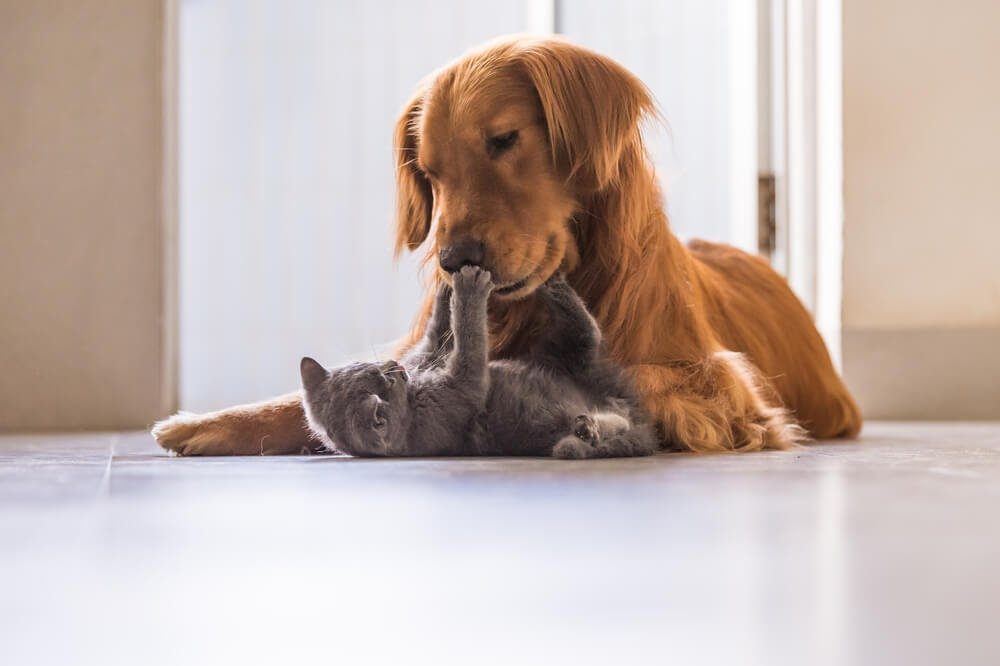 Grey kitten playing with golden dog