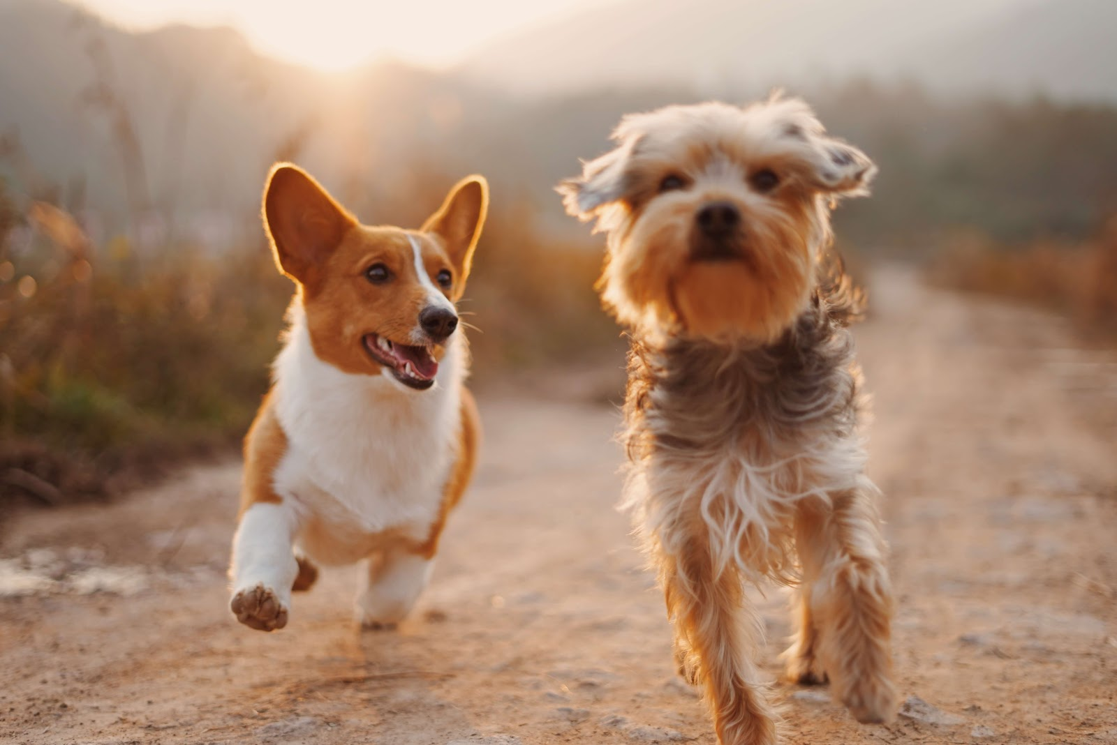 two small dogs running at sunset