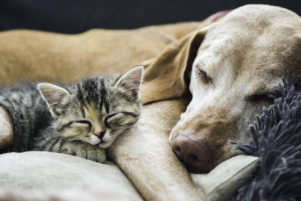 Tabby kitten and lab sleep