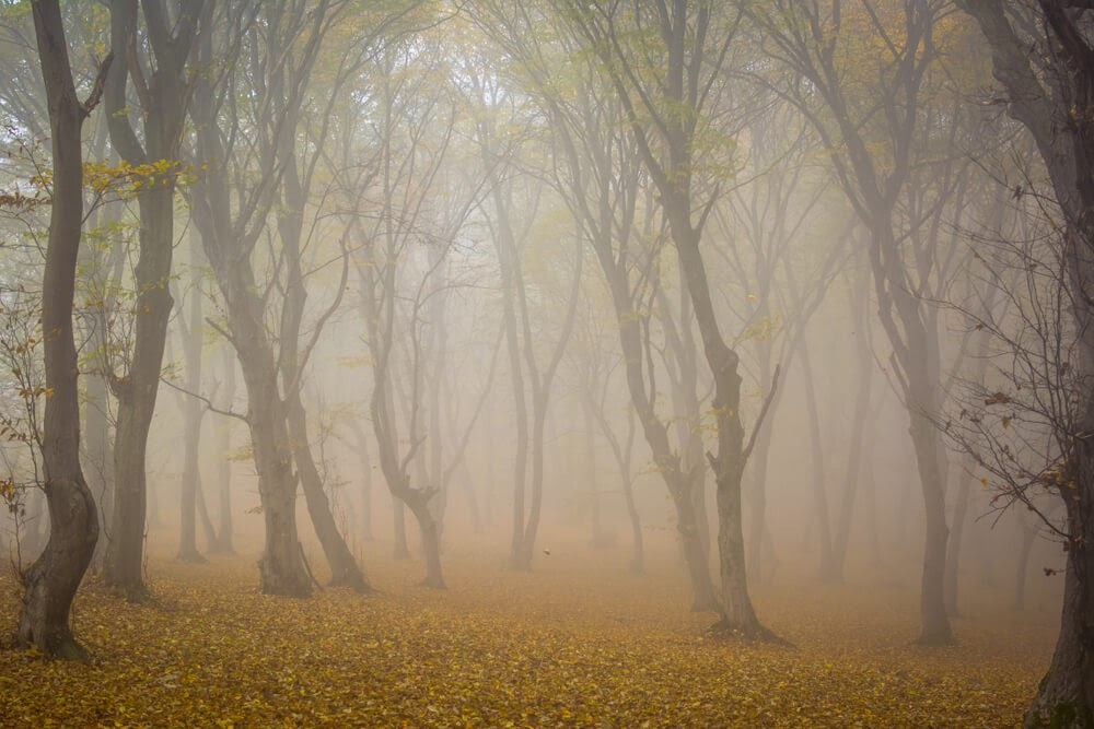 Hoia Baciu Forest in Romania. Tall trees with small golden leaves and fog.