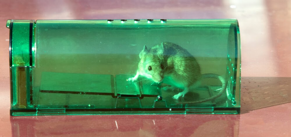 A mouse in a humane mouse trap