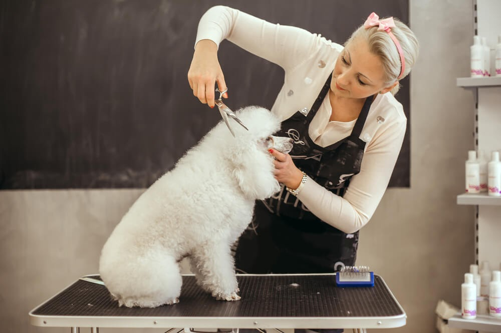 Woman grooming a small, fluffy, white poodle.