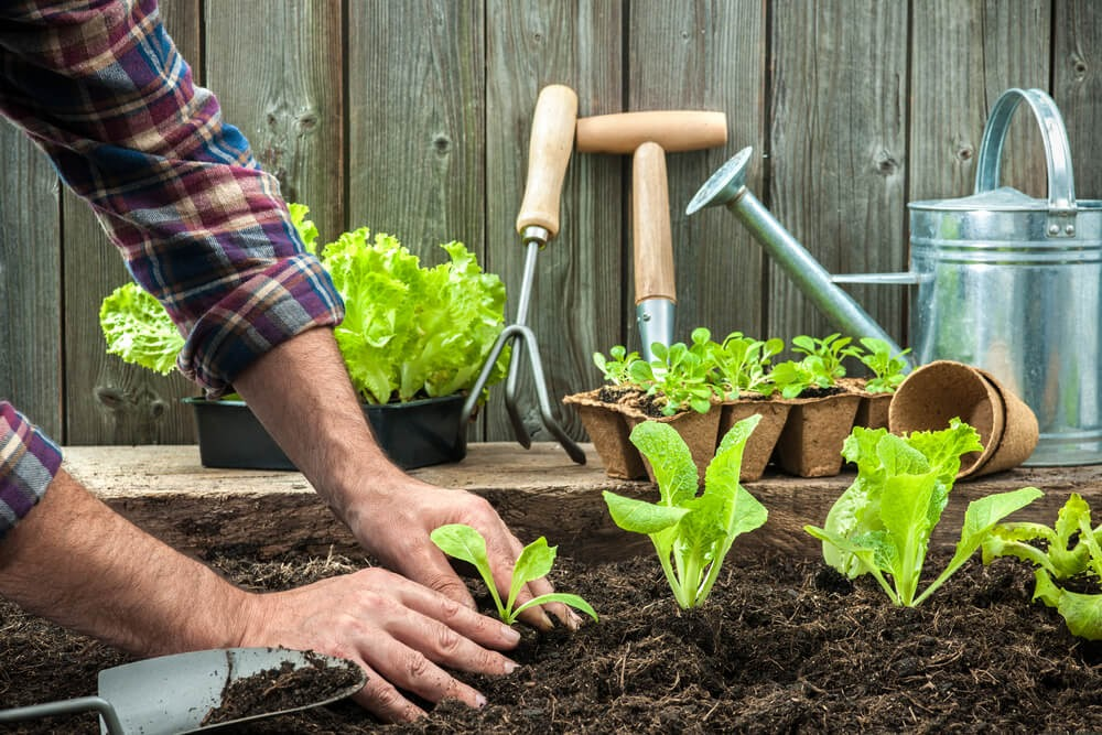 Person planting a row of leafy greens in the ground.