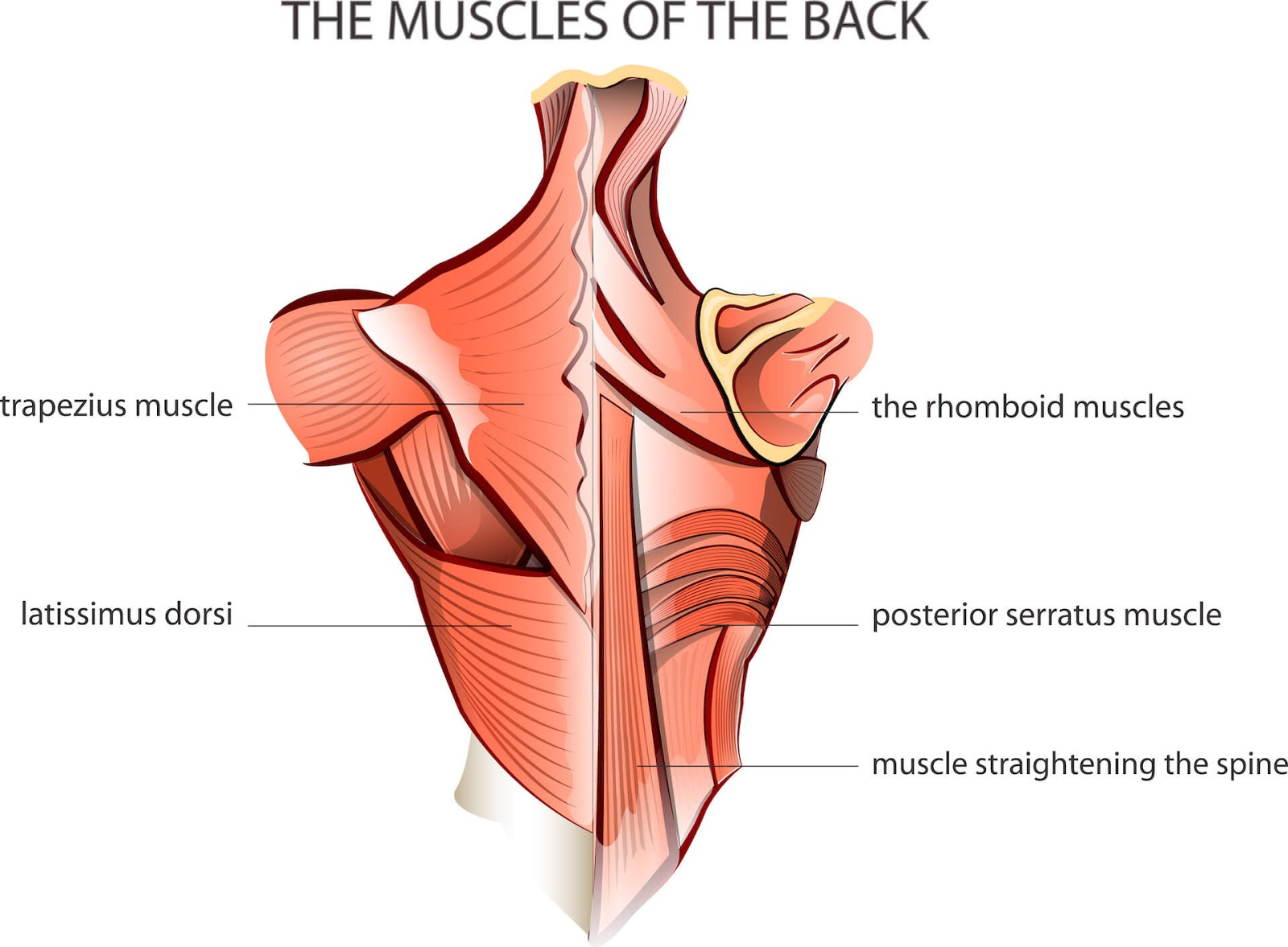 Diagram of the muscles in the back.