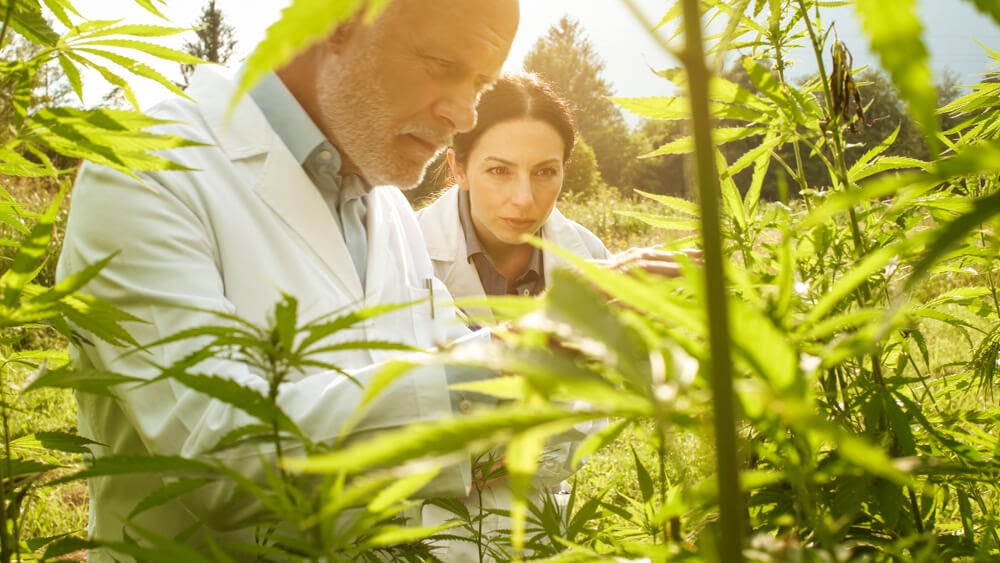Two people in lab coats check out a marijuana plant.