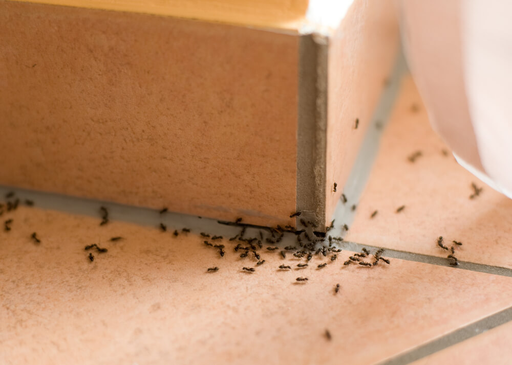 ant colony inside someones home