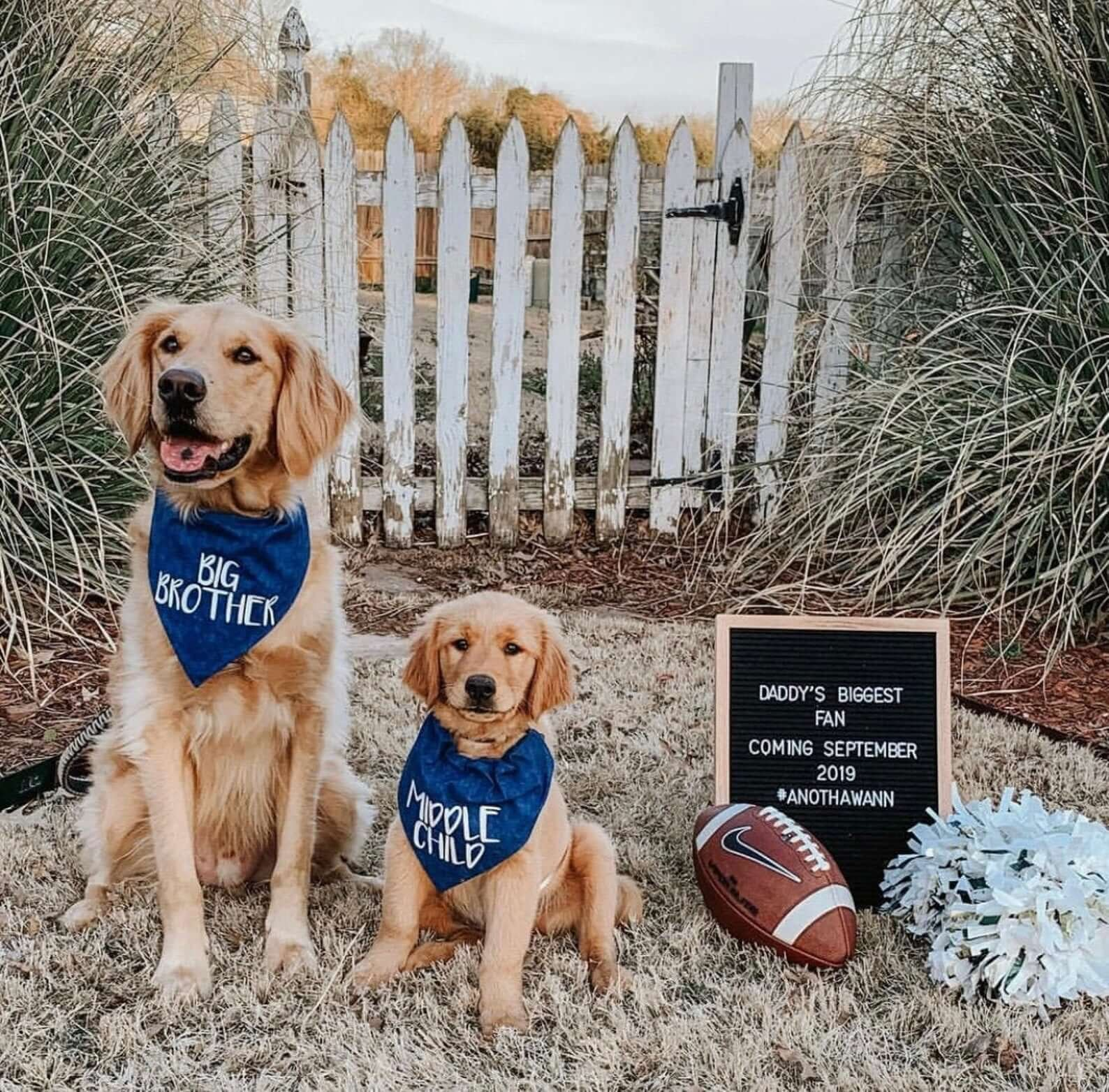 Golden retrievers sitting next to sign indicating a baby is coming