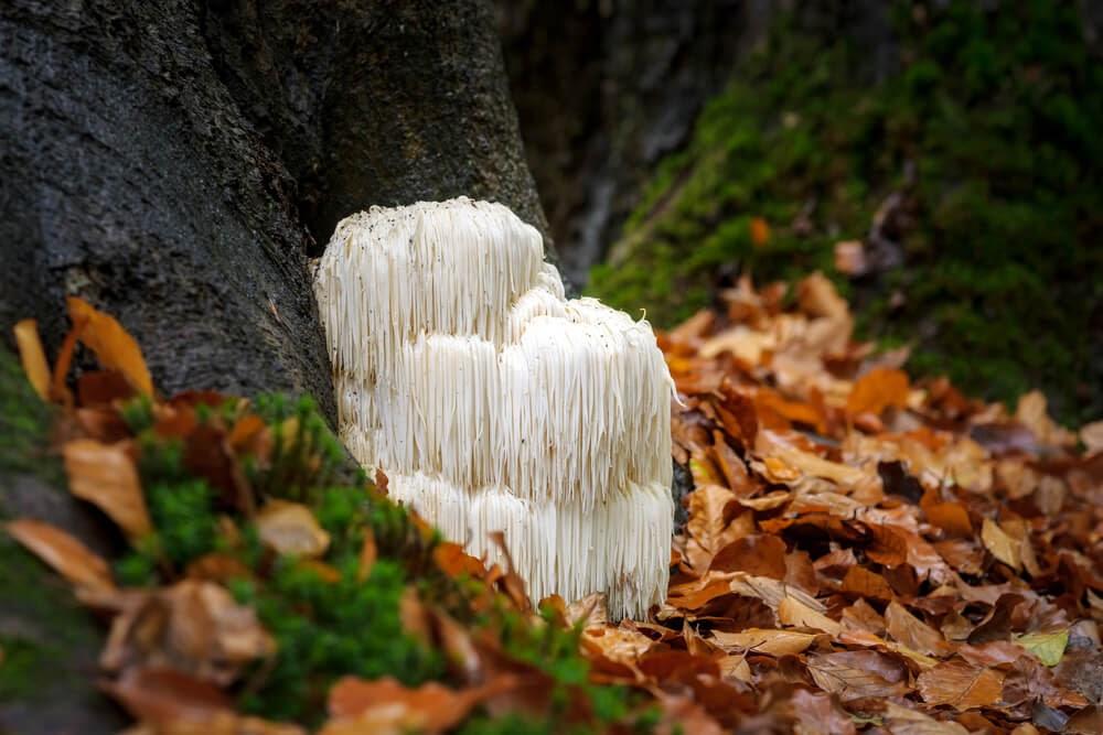 Lions mane mushroom on the forest floor.