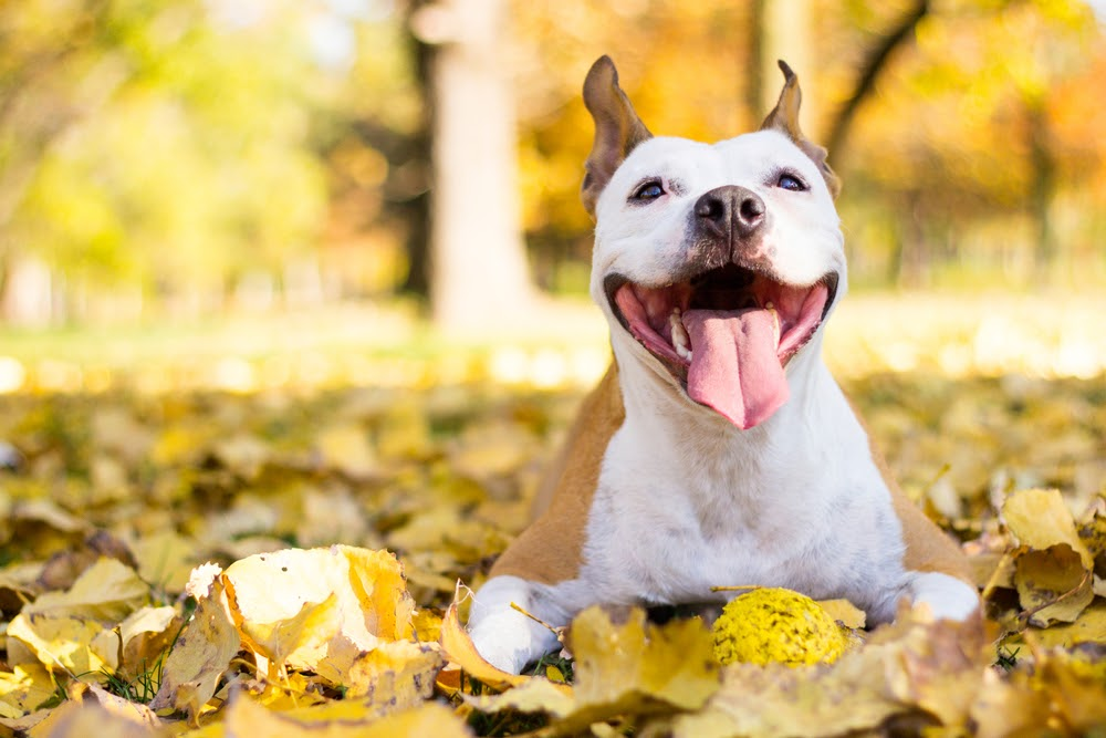 Smiley pit bull living his best life in some leaves