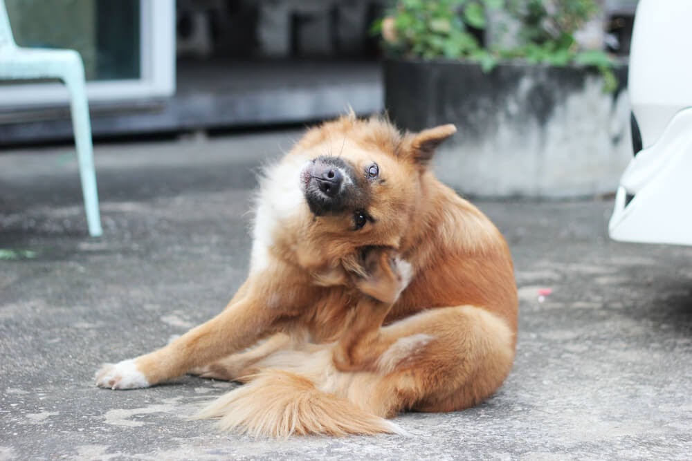 Fluffy brown dog scratching his ear.