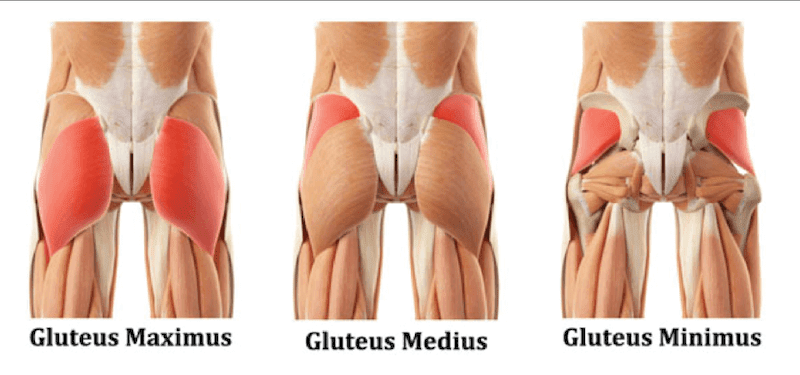 Anatomical picture of gluteus muscles