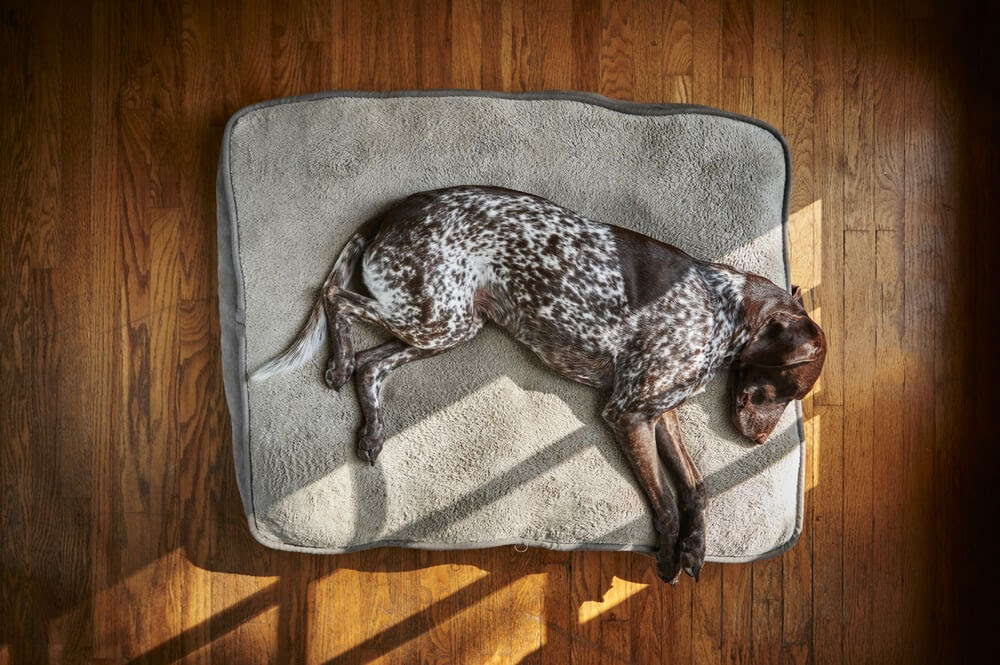 German Shorthaired Pointer sprawled out over a grey bed