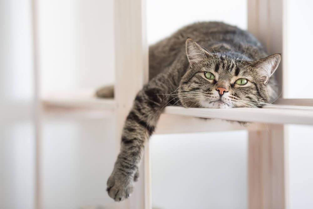 Grey tabby cat lounging on a shelf