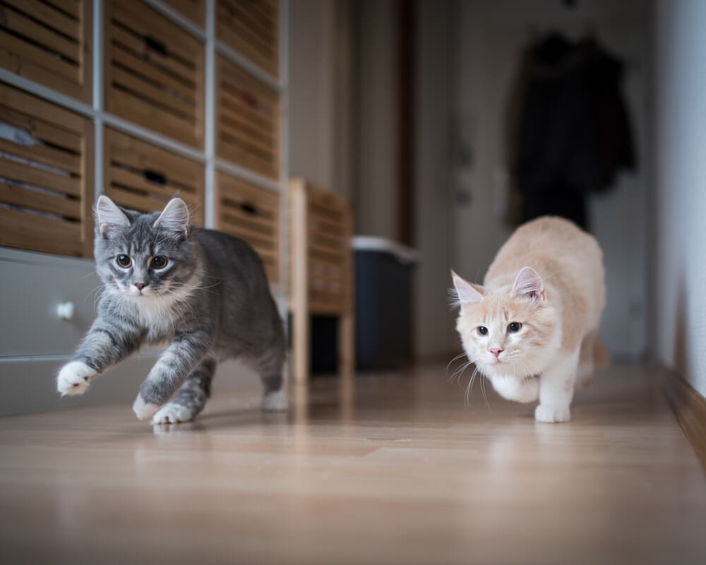 Two young cats chasing something down a hallway