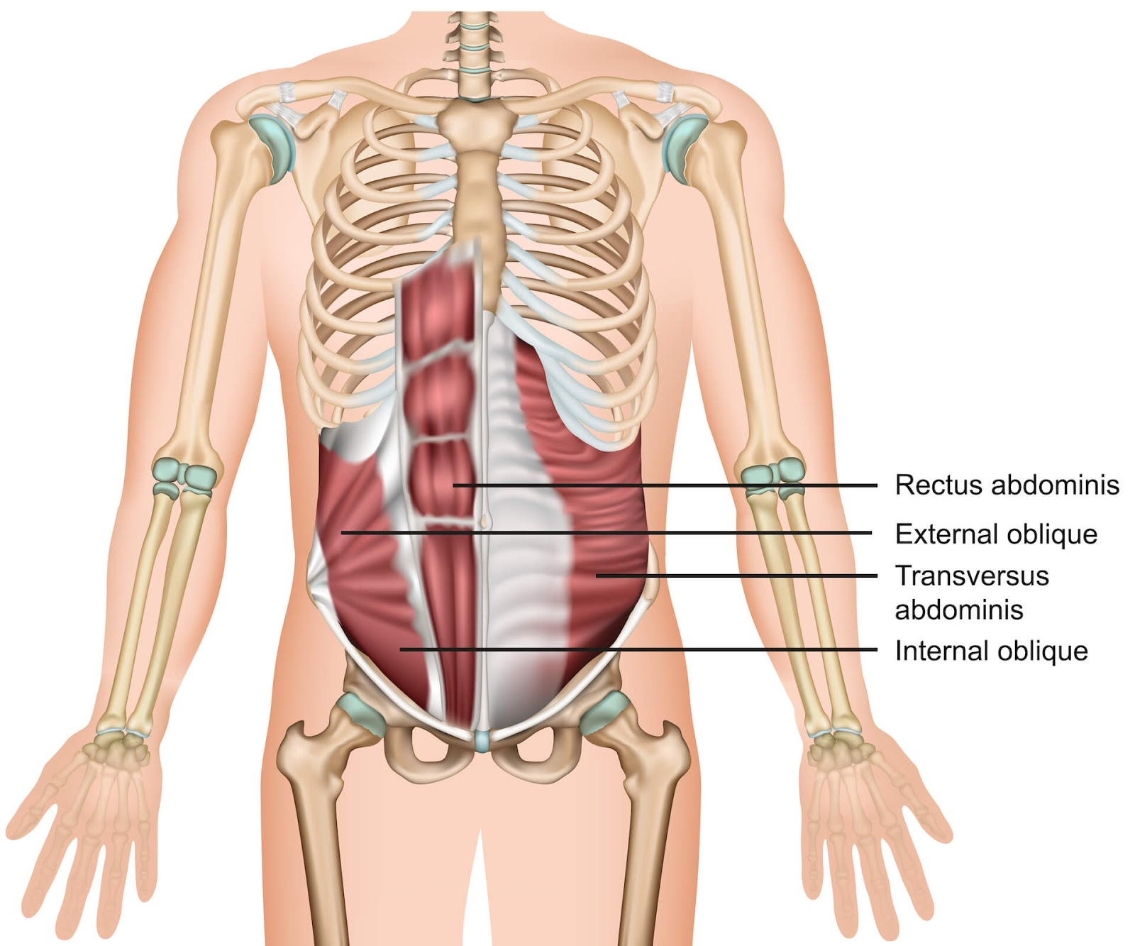 Anatomical view of abdominal muscles