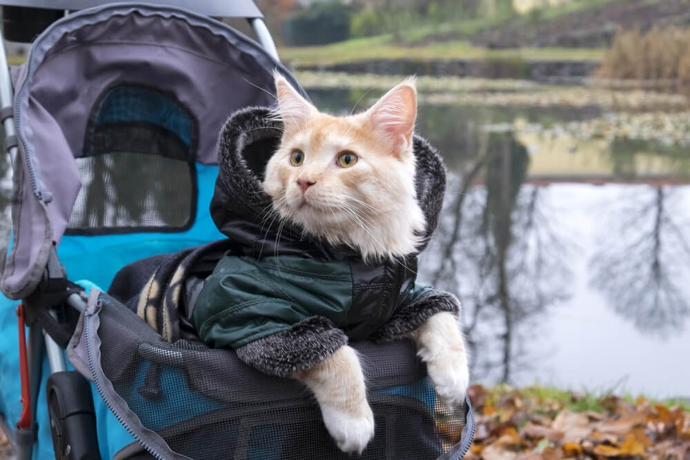Cat riding in a stroller