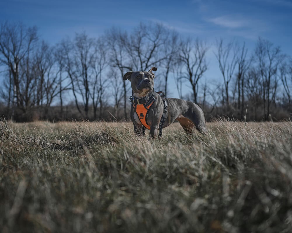 Pit bull with standing in grassy area with orange harness