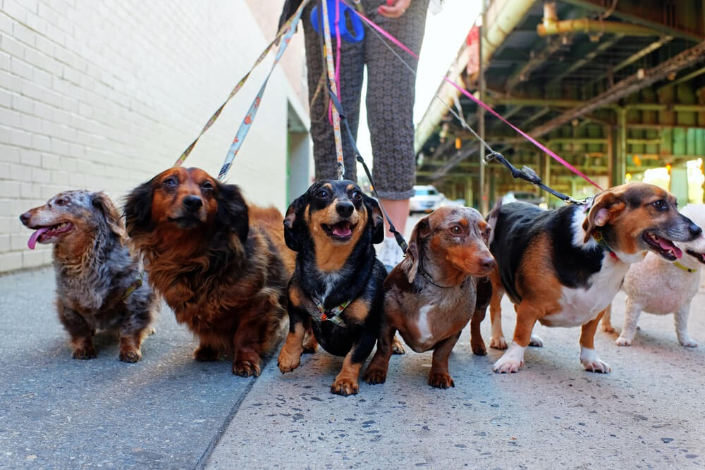 Group of Weenie Dogs going on a walk