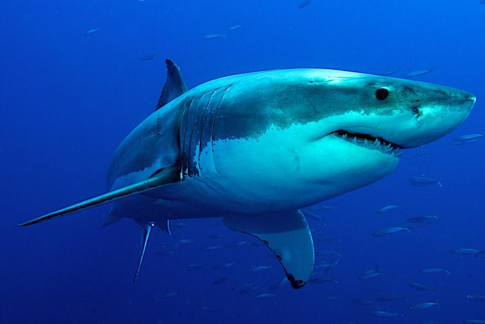 Close up of Shark
