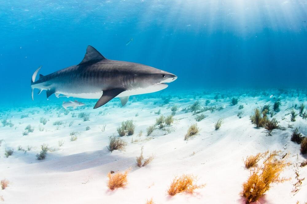 Shark Swimming in ocean