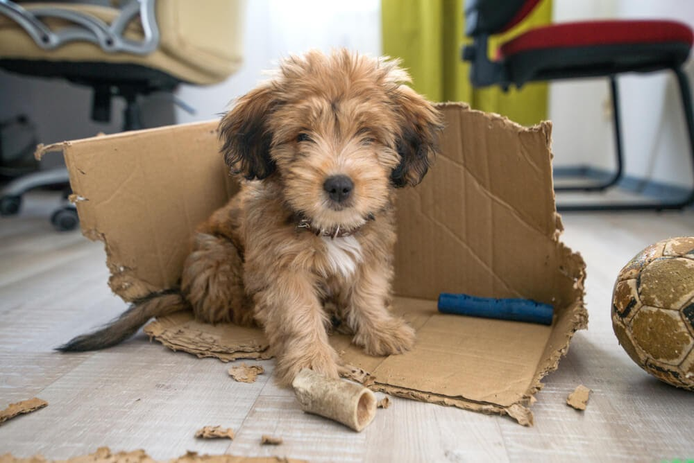 Puppy inside chewed up box