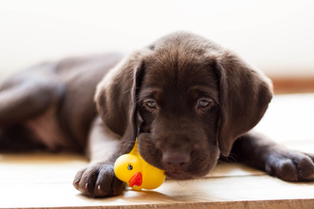 Brown lab puppy and his rubber ducky