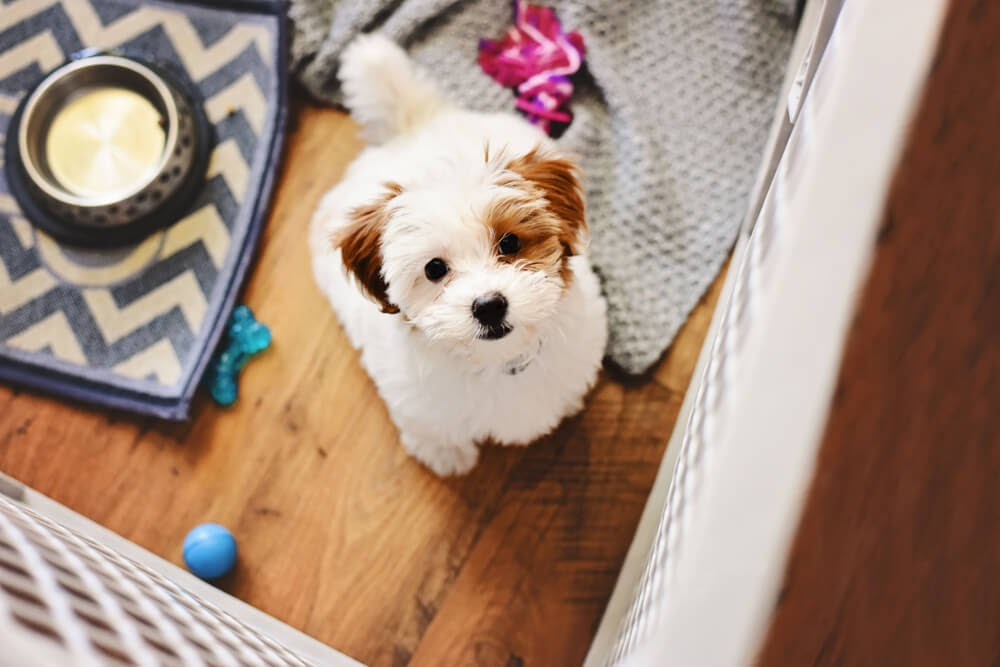 Brown and white fluffy puppy looking at the camera