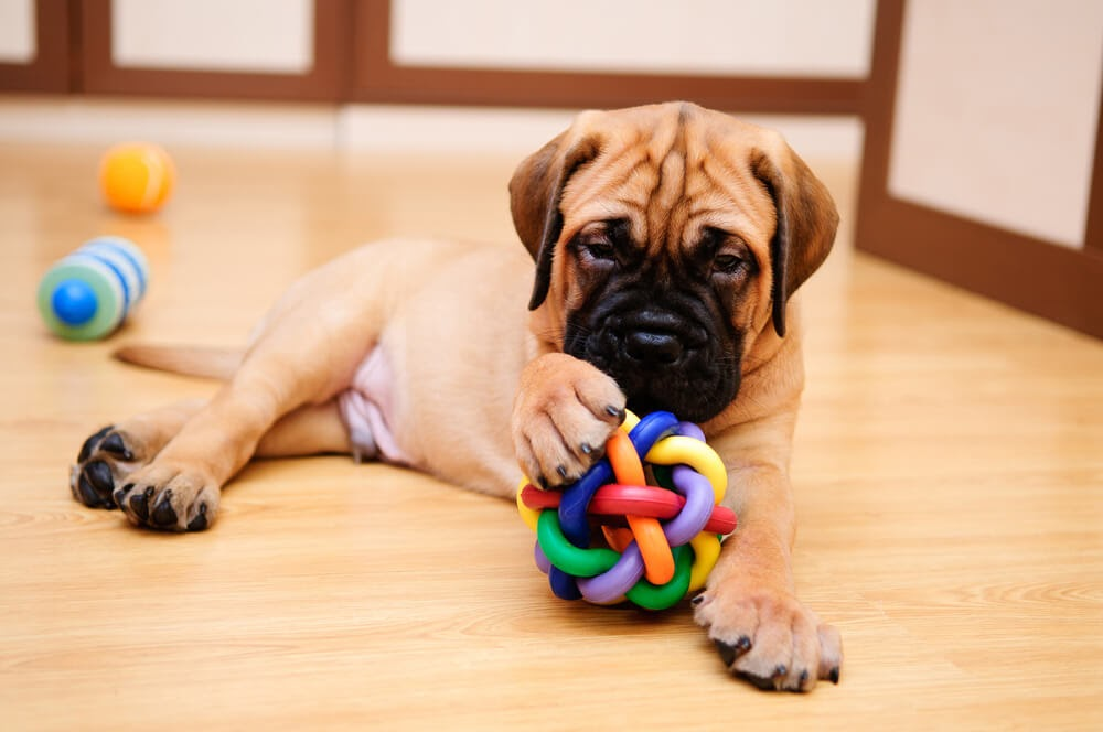 Wrinkly faced puppy playing with toys