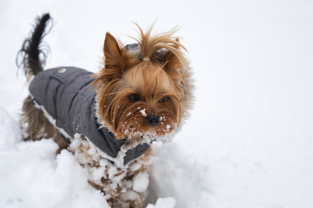 Yorkie in coat playing in the snow