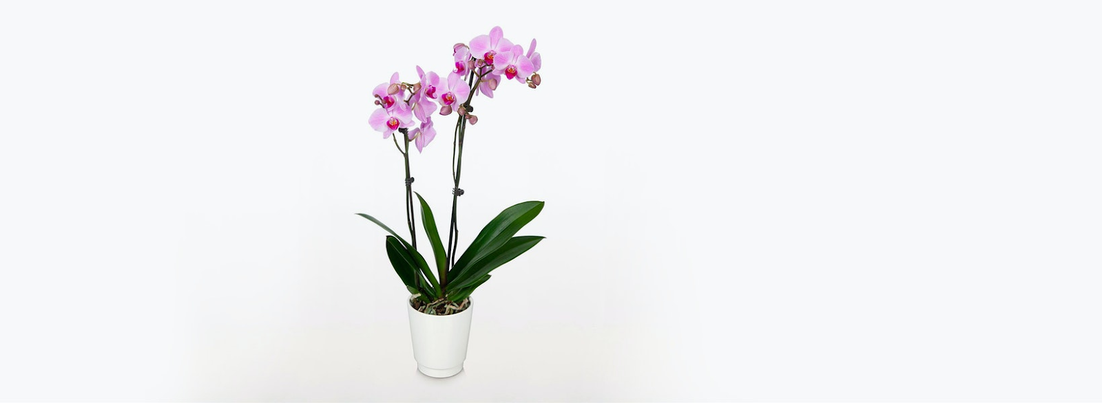 Bloomsybox Orchid