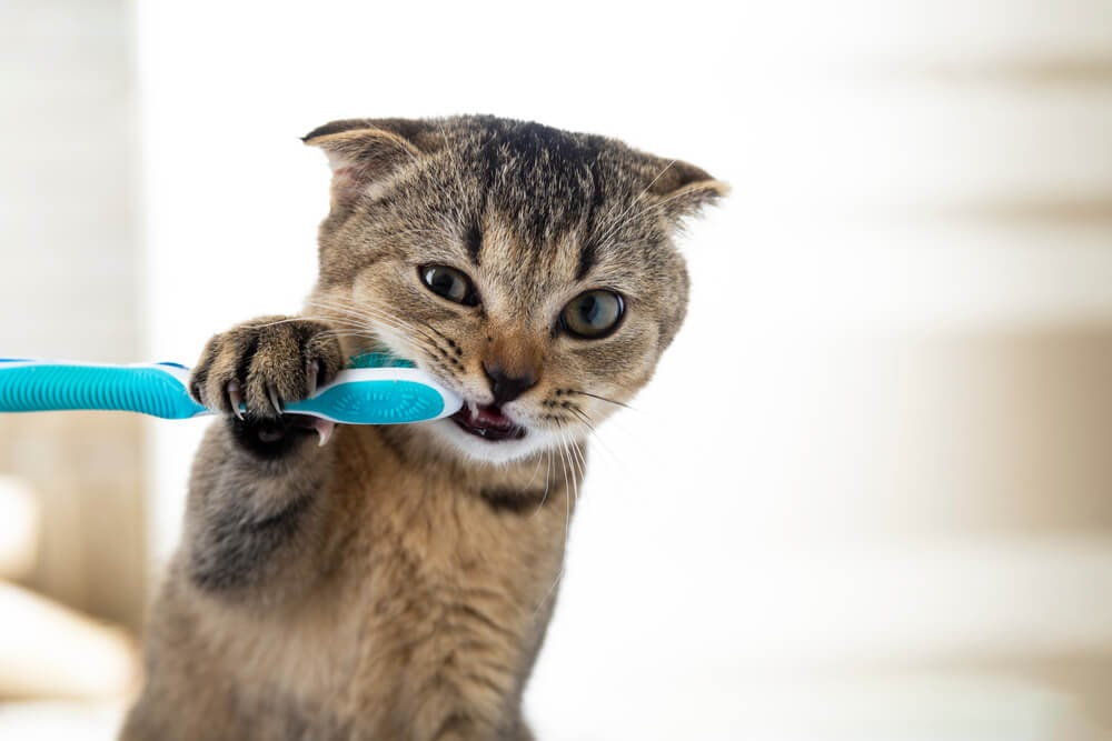 Cat getting it's teeth brushed