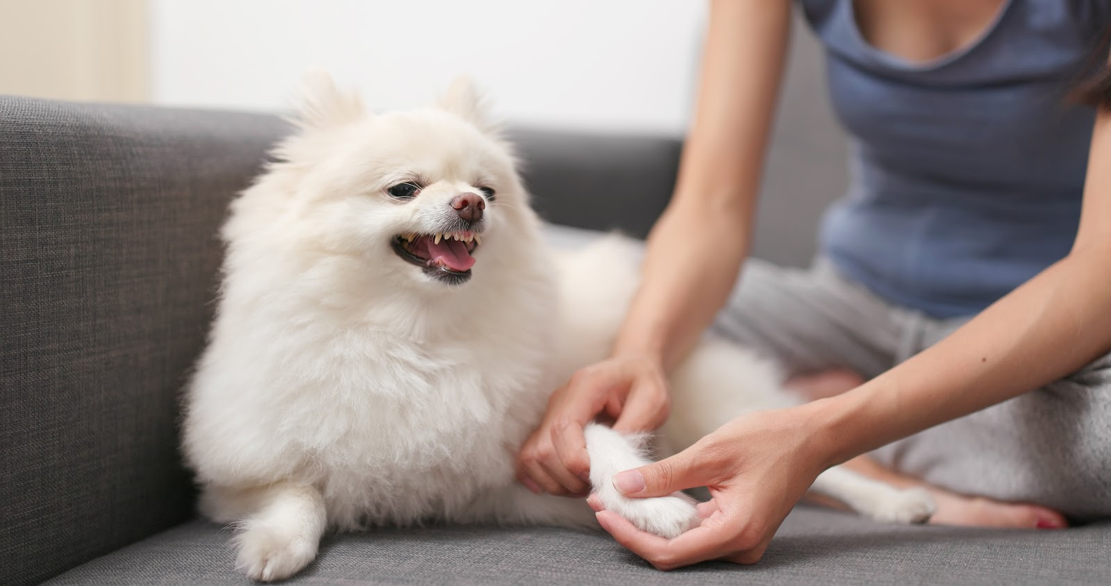 Woman looking at dog's paw while he growls