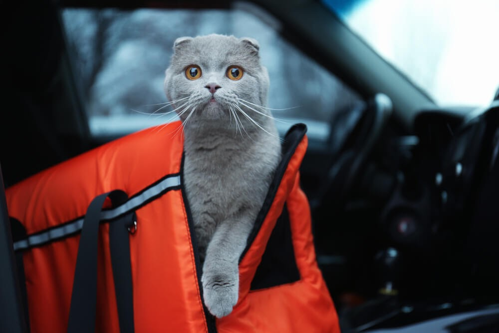 Cat looking out of cat carrier